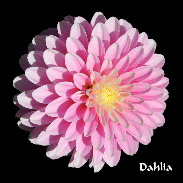 Photograph - Pink Dahlia On Black by Gary Whitton