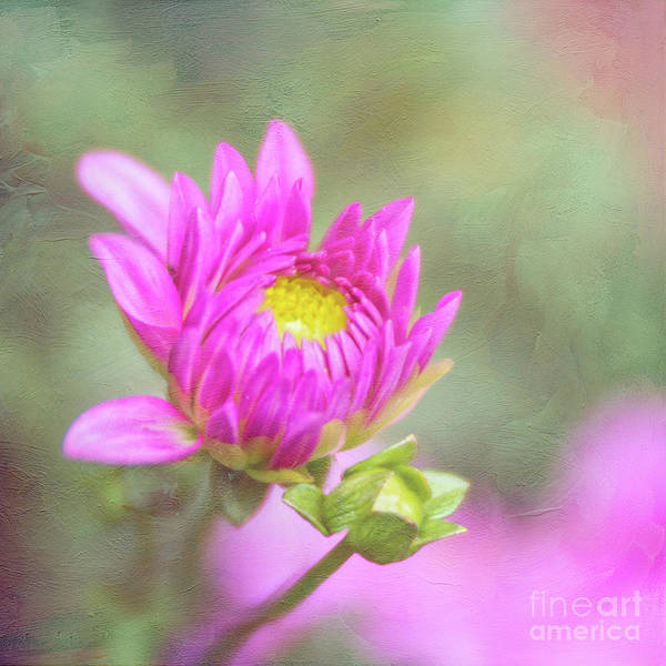 Photograph - Emerging Pink Dahlia Full Of Hope by Anita Pollak