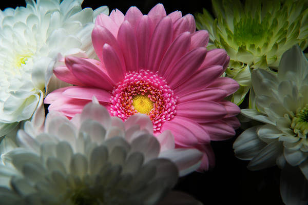 Photograph - Pink Daisy Surrounded By White Dahlias by Dennis Dame