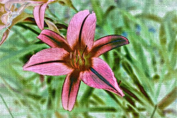 Photograph - Pink Daylily by Alison Frank
