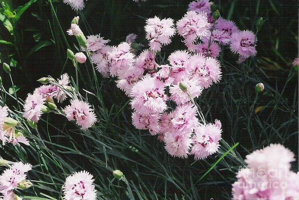 Photograph - Pink Dianthus by Charles Robinson