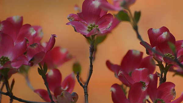Photograph - Pink Dogwood 2015 by Beth Akerman