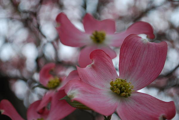 Photograph - Pink Dogwood Blossoms by Emily Page