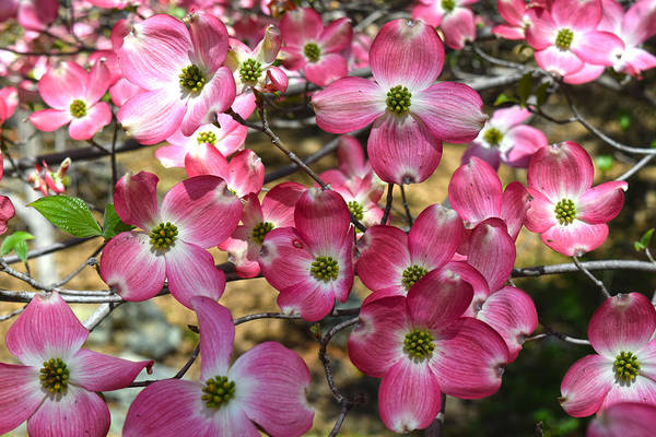 Photograph - Pink Dogwood Blossoms by Frank Wilson
