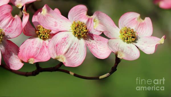 Photograph - Pink Dogwood Blossoms by Karen Adams