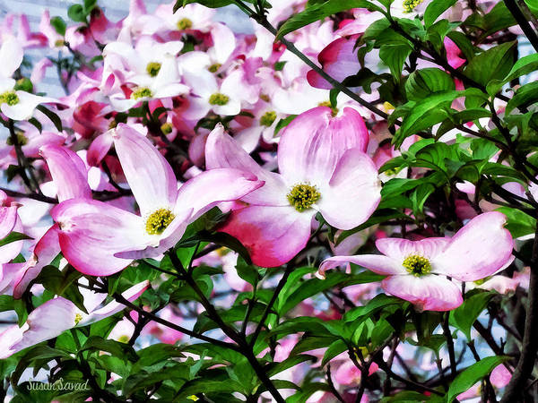 Photograph - Pink Dogwood Blossoms by Susan Savad