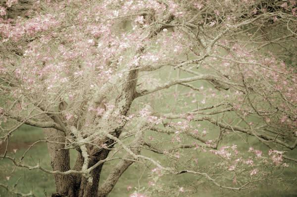 Photograph - Pink Dogwood by John Whitmarsh