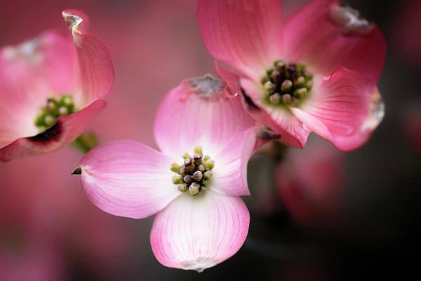 Photograph - Pink Dogwood by Tom Singleton