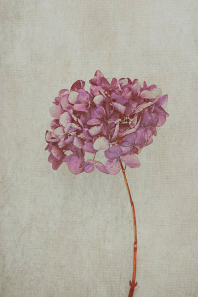 Photograph - Pink Dried Hydrangea by Maria Heyens