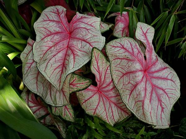 Photograph - Pink Elephant Ear Plant by Patricia Strand