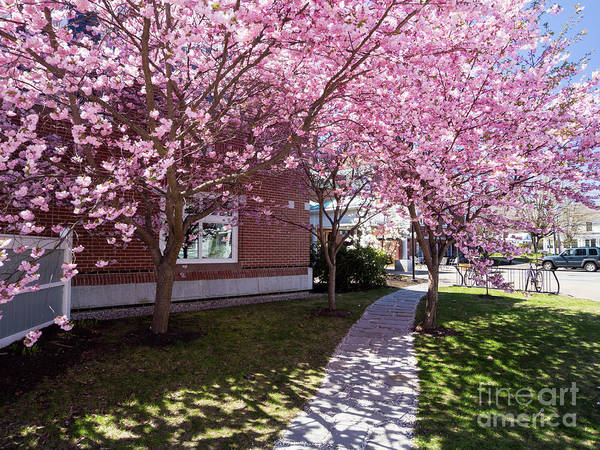 Photograph - Pink Explosion, Curtis Memorial Library, Brunswick, Me  -10013 by John Bald
