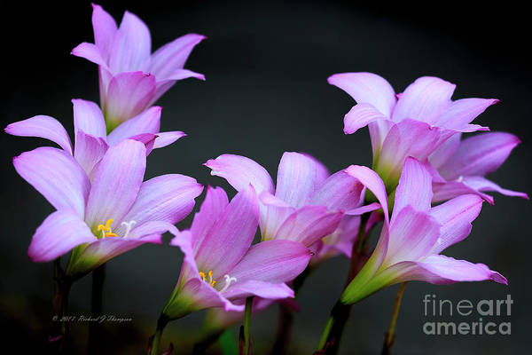 Photograph - Pink Fairy Lilies by Richard J Thompson