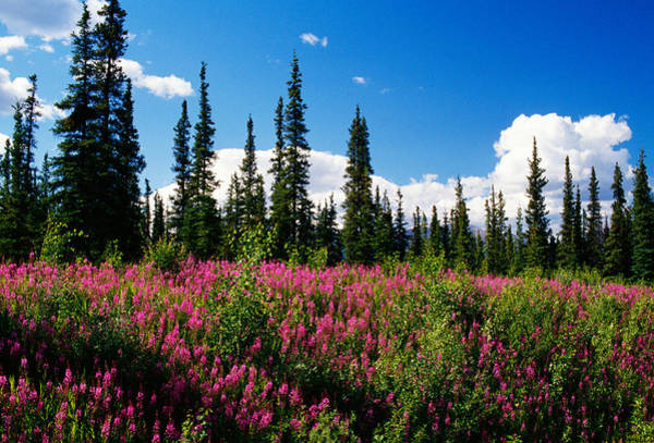Fireweed Photograph - Pink Fireweed Flowers Blooming by Panoramic Images