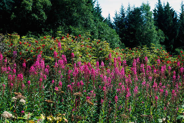 Fireweed Photograph - Pink Fireweed Wildflowers Epilobium by Panoramic Images