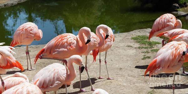 Wall Art - Photograph - Pink Flamingo At The San Francisco Zoo San Francisco California 5d3200 by Wingsdomain Art and Photography