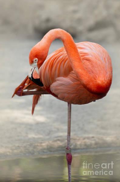Photograph - Pink Flamingo Balancing  by Sabrina L Ryan