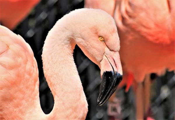 Photograph - Pink Flamingo Close-up by Sheila Brown