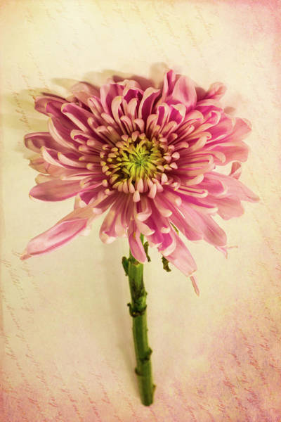 Wall Art - Photograph - Pink Flower 3 by Kevin O'Hare