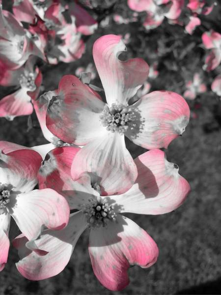 Photograph - Pink Flower by Chris Montcalmo