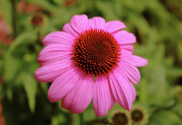 Photograph - Pink Flower Head by Cynthia Guinn