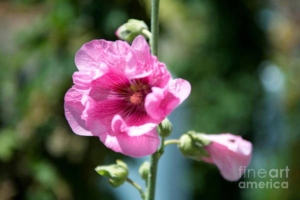 Photograph - Pink Flower by Yew Kwang
