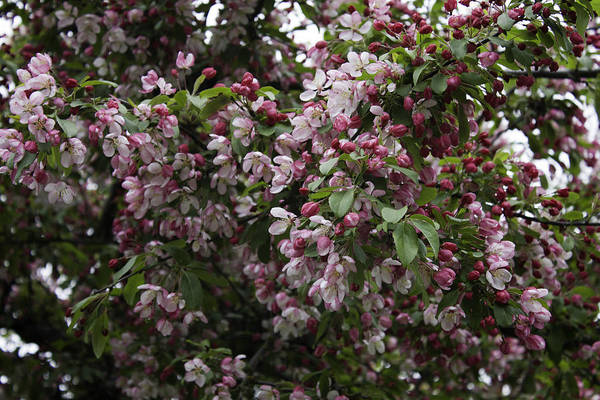 Photograph - Pink Flowering Fruit Tree by Donna L Munro