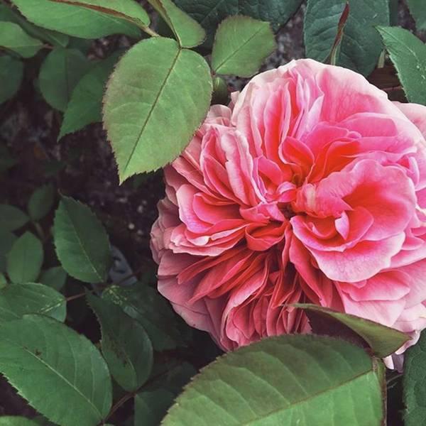 #pink #flowers #rose #english Art Print