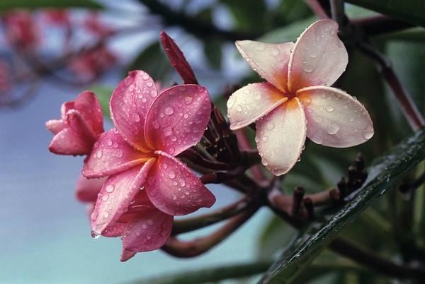 Pink Frangipani Flower And Raindrops Art Print