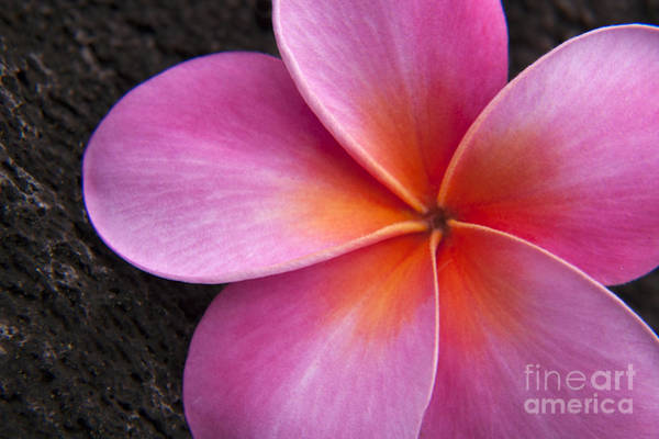 Wall Art - Photograph - Pink Frangipani by Julia Hiebaum