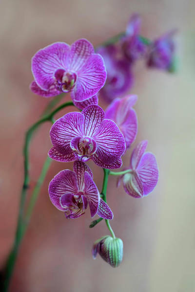 Wall Art - Photograph - Pink Fresh Orchids by Jaroslaw Blaminsky
