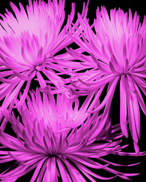 Wall Art - Photograph - Pink Fuji Spider Mums by Tom Mc Nemar