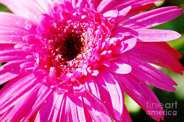 Photograph - Pink Gerber by Donna Bentley