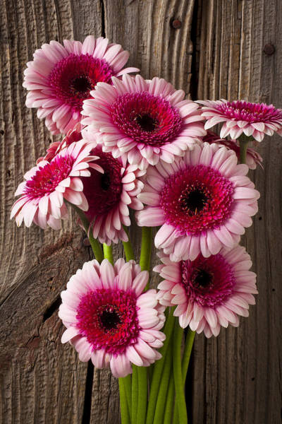 Pink Photograph - Pink Gerbera Daisies by Garry Gay