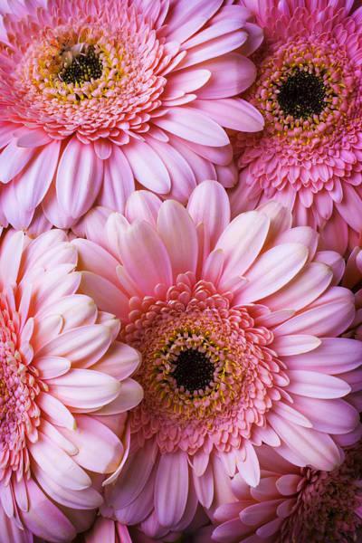 Gerbera Daisy Photograph - Pink Gerbera Daisy Bunch by Garry Gay