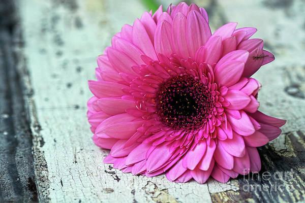 Wall Art - Photograph - Pink Gerbera Daisy On Old Wood By Kaye Menner by Kaye Menner