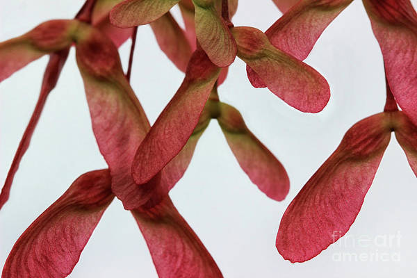 Photograph - Pink Helicopters by Karen Adams