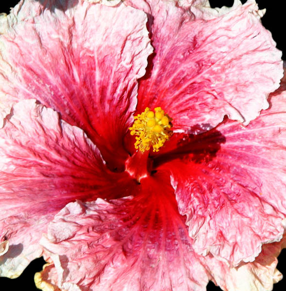 Photograph - Pink Hibiscus Inspired By Georgia O'keefe by Anthony Jones