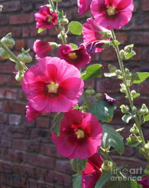 Photograph - Pink Hollyhock by Kerri Mortenson