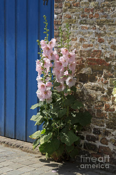 Alcea Photograph - Pink Hollyhocks Growing From A Crack In The Pavement by Louise Heusinkveld