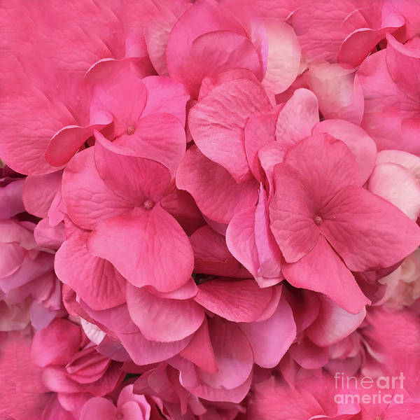 Wall Art - Photograph - Hydrangea Floral Petals - Romantic Pink Flower Petals  by Kathy Fornal