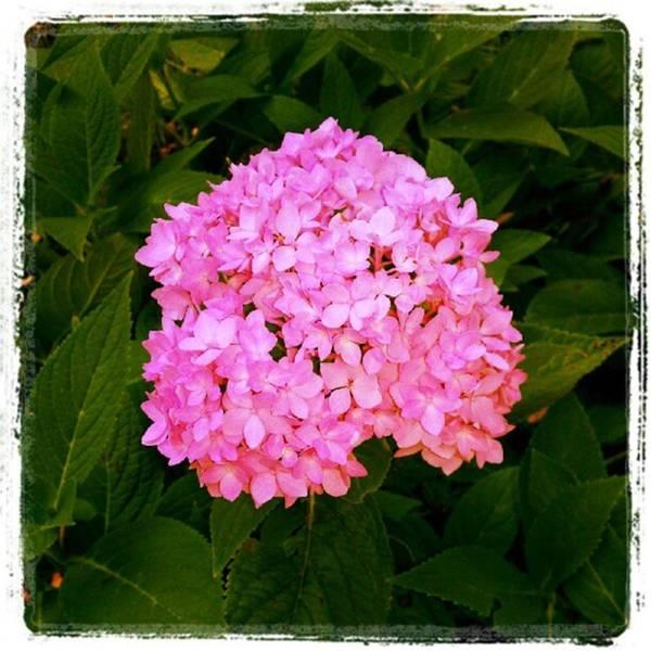 Photograph - Pink Hydrangea Portrait by Tammy Winand
