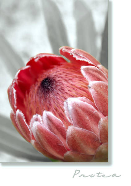 Wall Art - Photograph - Pink Ice Protea by Holly Kempe