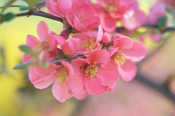 Photograph - Pink Japanese Quince Blossom by Jenny Rainbow