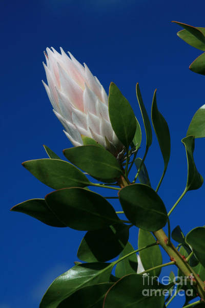 Photograph - Pink King Protea Kula Maui Hawaii by Sharon Mau
