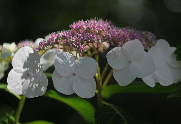 Summertime Wall Art - Photograph - Pink Lace Cap Hydrangea by Suzanne Gaff