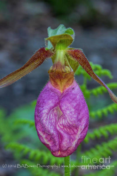Photograph - Pink Ladies Slipper by Barbara Bowen