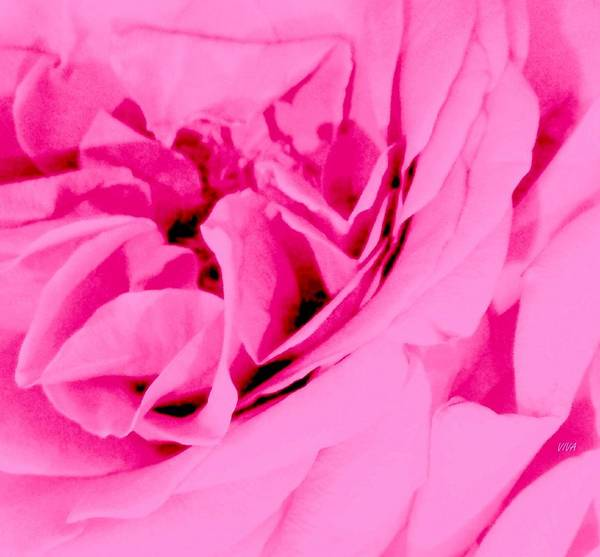 Photograph - Pink Lady - The Last Rose-dedicated  by VIVA Anderson