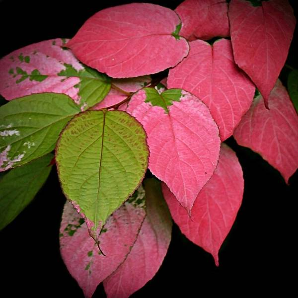 Photograph - Pink Leaves by Patricia Strand