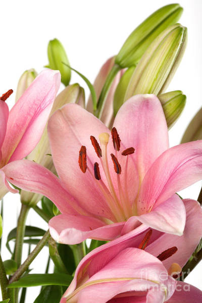Wall Art - Photograph - Pink Lilies 07 by Nailia Schwarz