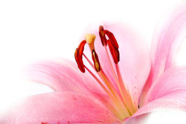 Lilies Wall Art - Photograph - Pink Lilies 08 by Nailia Schwarz